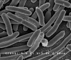 Một số vi khuẩn chủ yếu trong thực phẩm